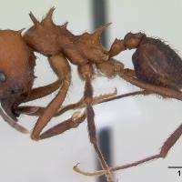 Hormiga cortadora