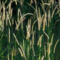 Pigeon grass