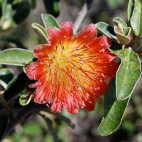 Wild rose, tamala rose