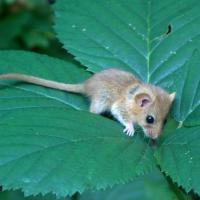 Fındık faresi