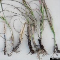 Почему у рассады гниют корни 33
