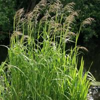 Reed sweetgrass