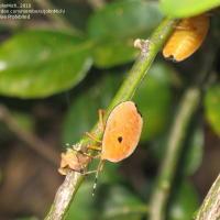 Bronze orange bug
