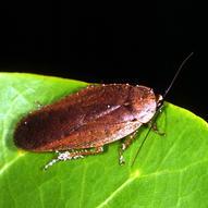 Wingless cockroach