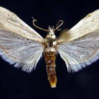 Sunflower head moth