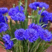 Zilā rudzupuķe