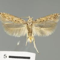 Potato tuber moth
