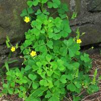 Yellow woodsorrel