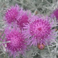 Véase Centaurea