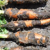 Bacterial Leaf Spot Of Carrot Diseases Other articles where xanthomonas is discussed: bacterial leaf spot of carrot diseases