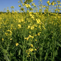 Volunteer canola