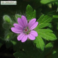 Dove's foot crane's-bill