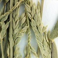 Prairie cupgrass