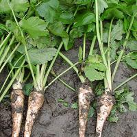 Root canker