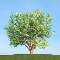 Kara ağaç