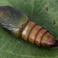 Fruit tree tortrix moth