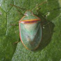 Chinche verde pequeña