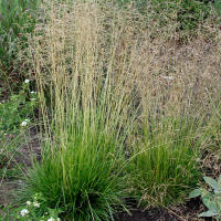 Tufted hairgrass