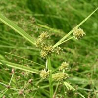 Small - flowered nutsedge