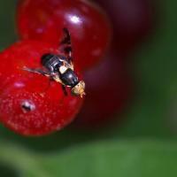 La mosca delle ciliegie