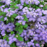 Blue billygoat weed