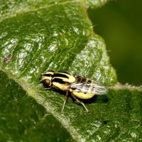 Dipteran leafminers