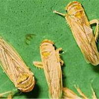 Maize leafhopper