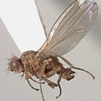 Diptera: Drosophilidae leaf miner