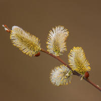 American pussy willow