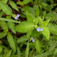 Benghal dayflower