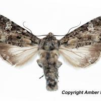 Bertha armyworm