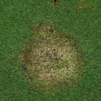 Fusarium malattia patch di prato