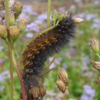 Saltmarsh caterpillar