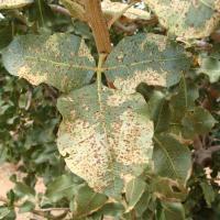 Peronospora della lattuga