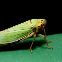 Cicadelles