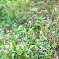 Green smartweed