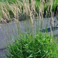 Reed canary grass, perennial phalaris