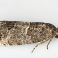 Eyespotted budmoth