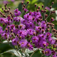 Western ironweed