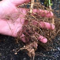 Stubby-root nematodes