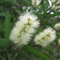 Broadleaf tea tree