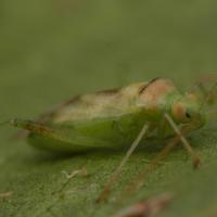Green mirids
