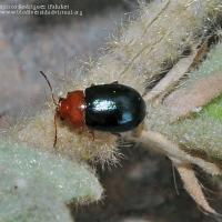 Cotton flea beetle