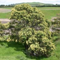 Australian acacia