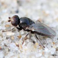 Злаковые мухи