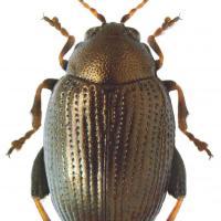 Barbabietola da zucchero Flea Beetle