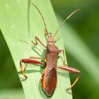 Podsucking bug