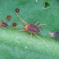 Bryobia mite