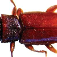 Common auger beetle