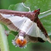 Cucumber moth